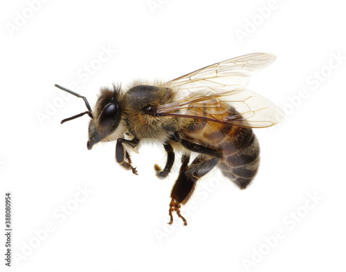 Honey bee isolated on white