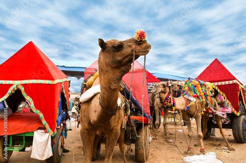 Papel de parede camels in the desert, Pushkar fair