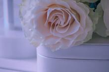 Gentle Roses In Macro Shooting.