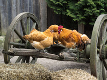OLYMPUS DIGITAL CARooster And Hens In The Farmyard On A Wooden Cart. Rural Life Scenes On The Farm