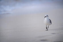 Sea Gull Walking Along Sandy Beach