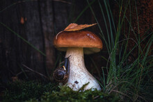 Porcini Mushroom Grow In The Forest On A Wood And Green Background Of Moss And A Crawling Snail. Soft Selective Focus