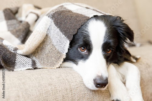 Fotografie, Tablou Funny puppy dog border collie lying on couch under plaid indoors
