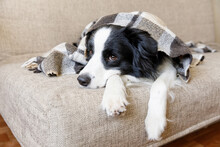 Funny Puppy Dog Border Collie Lying On Couch Under Plaid Indoors. Little Pet Dog At Home Keeping Warm Hiding Under Blanket In Cold Fall Autumn Winter Weather. Pet Animal Life Concept.