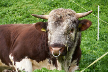 Portrait Of A Bull With Nose Ring
