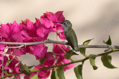 Naklejka premium Bougainvillea scarlet and hummingbird green gleam in Arizona morning