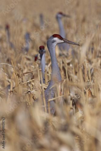 Naklejka premium Corn field hides and feeds flock of sandhill cranes in New Mexico