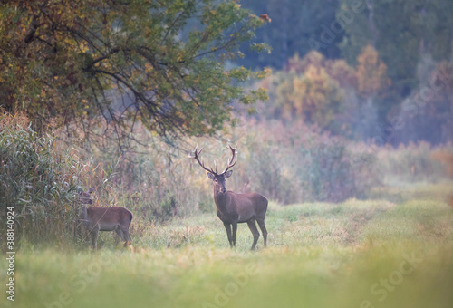 Fotografia Red deer and hind on meadow in forest