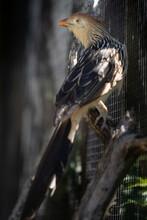 Guira Cuckoo On A Fence Wall L...