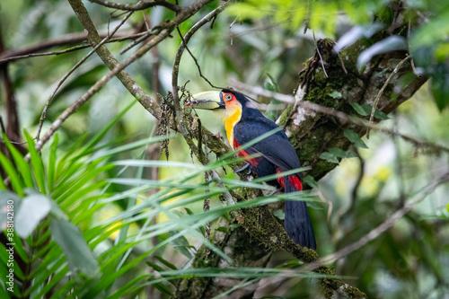Naklejka premium Beautiful red, black and yellow colorful tropical bird