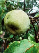 Close-up Of An Apple Tree Afte...