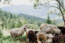 Flock Of Sheep In The Mountain...