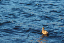 A Lonely Duck On The Blue Surf...