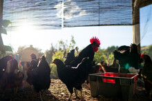 Chickens In Farm During Sunny ...