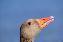 Headshot Of Greylag Goose (Ans...
