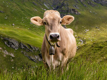 Portrait Of Brown Cow Wearing ...