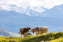 Two Cows Grazing InÔøΩSwiss...