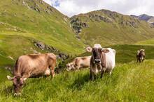 Cattle Grazing InÔøΩSwiss A...