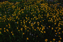 Yellow Alpine Wildflowers