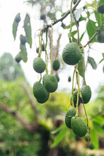 Avocado Tree With Tiny Green A...