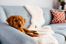 Mini Golden Doodle Puppy Lying On Blue Couch