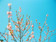 PInk Spring Blossoms Against Bright Blue Sky