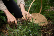 Snipping Thyme From The Garden