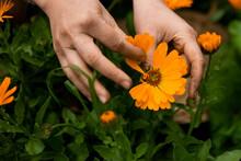 Gathering Calendula Petals