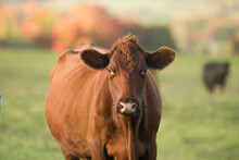 Red Angus Cow Portrait In Fall Setting On Small Farm In Rural Ontario Canada