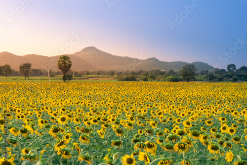 Fotografie, Obraz field of blooming sunflowers on a background sunset