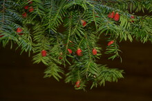 Taxus Baccata (yew Tree)/Yew Tree With Red Fruits. Taxus Baccata