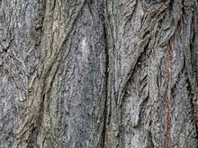 The Bark Of An Old Elm Tree Is Dotted With Rough Cracks And Furrows. The Resulting Embossed Texture Can Be Used As A Background In Design Solutions