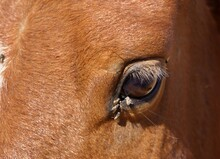 Eye Of A Brown Horse With Flies