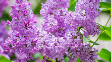 Lilac Blossoming Branches, Sel...