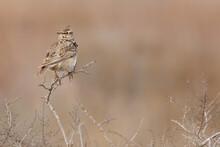 Crested Lark. Bird In Spring. ...
