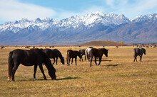 Herd Of Horses Grazing In Yell...
