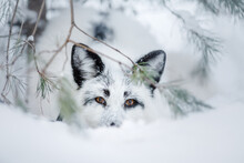 White Fluffy Fox In The Snow. ...