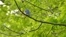 Two Colorful Birds Sitting On Branches In The Forest. Eastern Mountain Bluebird And American Goldfinch Sitting On Tree Branches.