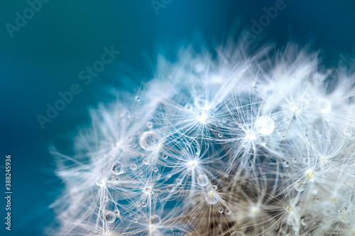 Canvas Print Beautiful fluffy dandelion ball with dew drops on a blurry background, macro pho