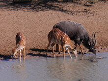 Male And Female Nyala Enjoying A Welcome Drink, Mkuze, KwaZulu Natal, South Africa.