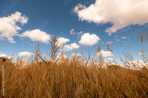 Canvas Print Ramas y juncos secos bajo el sol y bajo un hermoso cielo azul con nubes blancas