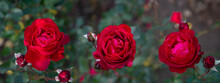 Three Red Roses Flower In The ...