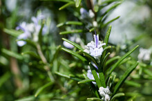 Detail Of Blooming Rosemary