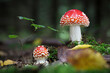 canvas print picture - Two Amanita muscaria in forest with blurred background