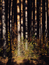 Pine Forest In Autumn In The R...