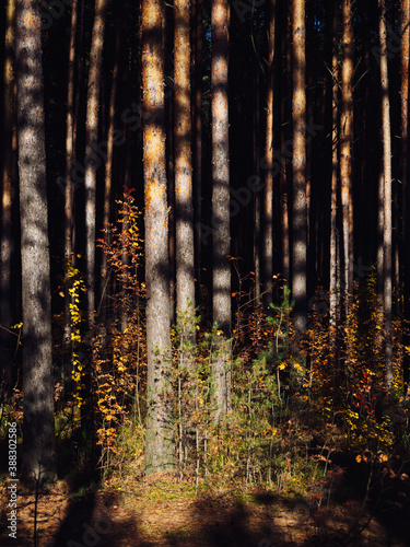Tela Pine forest in autumn in the rays of the sun
