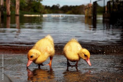 Fotografia Patos Filhote na beira do rio