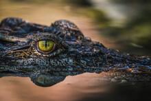Close Up - Crocodile Or Alliga...