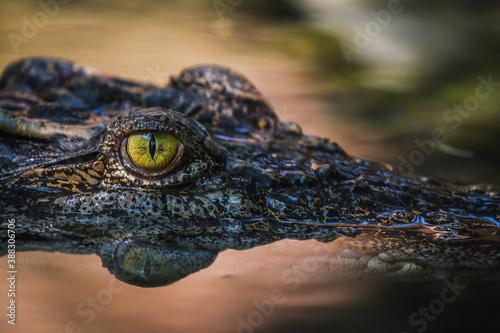 close up - crocodile or alligator eyes. Billede på lærred