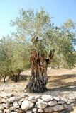Olive Tree on a Hill in Israel